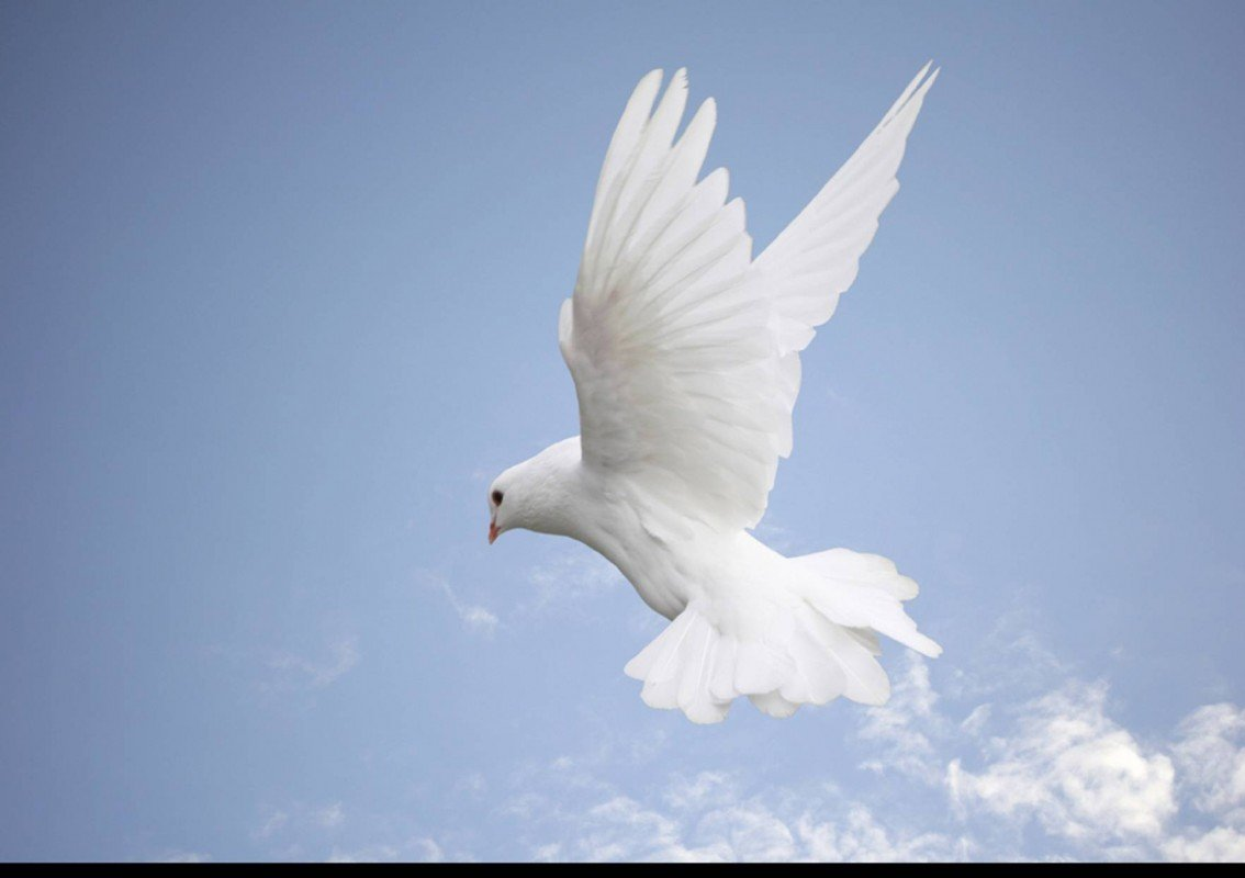 Image of a white dove